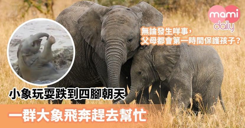 【場面可愛】父母都會第一時間保護孩子?小象玩耍跌到四腳朝天 一群大象飛奔趕去幫忙