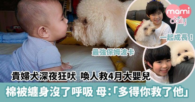 【狗救小主】貴婦犬深夜狂吠 喚人救4月大嬰兒 棉被纏身沒了呼吸 母哭喊:「多得你救了他」